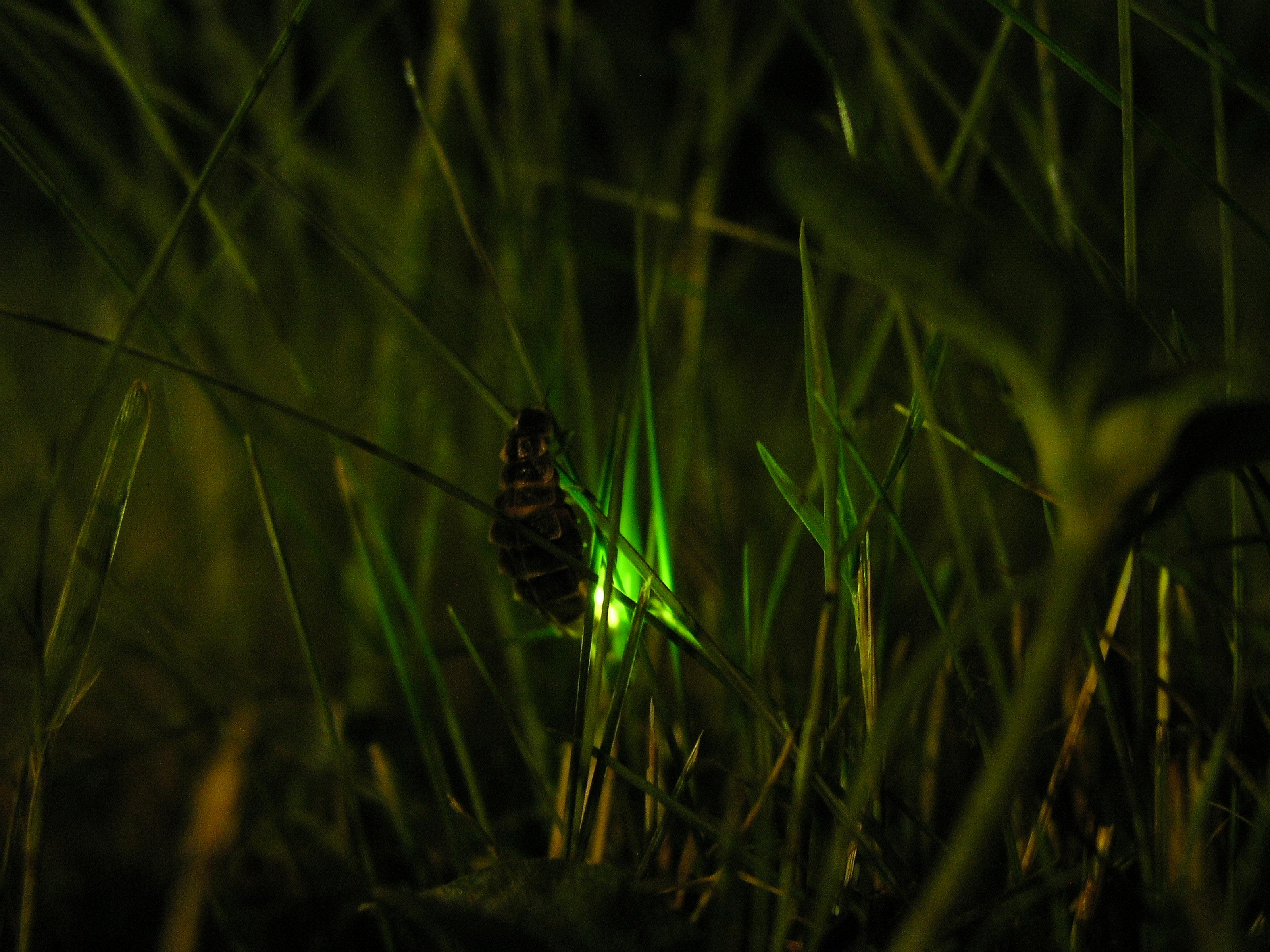 Wunderbar Glühwürmchen 24 Zeitgenössisch - Elektrische Schaltplan ...
